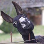 diferencia-entre-burro-y-asno