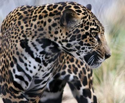 diferencia entre jaguar y leopardo