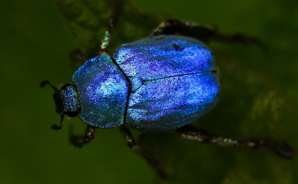Escarabajo azul